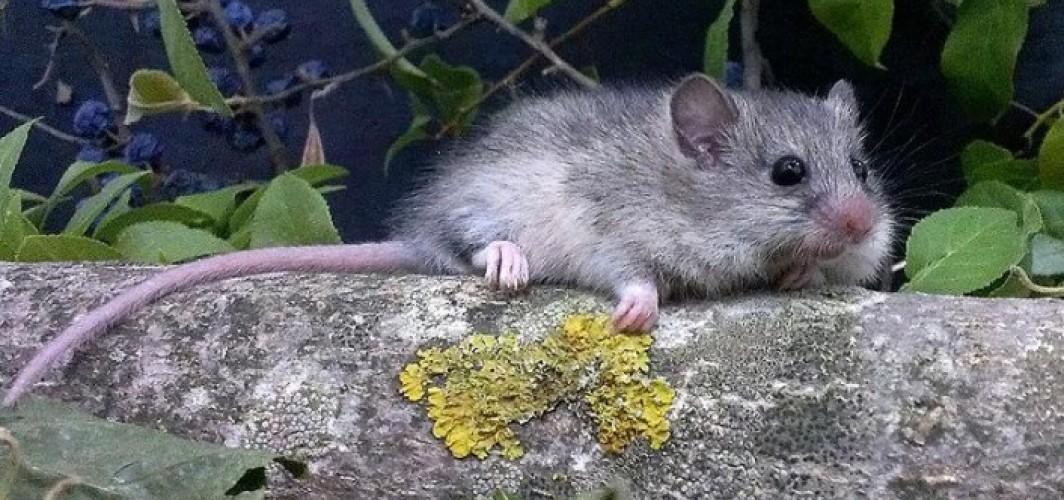 İsveç'te fareler sayısında büyük artış