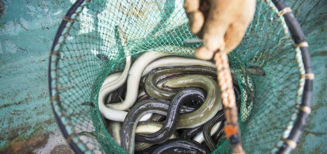 İsveç'te balıkçıların oltalarına normal balıktan çok yılan balıkları takılıyor