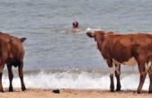 İsveç'te çıplaklar kampına ineklerin girmesine izin verildi