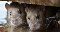 Dehşet! 3 aylık bebeği fareler yedi