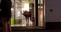 İsveç'te alışveriş merkezine giren geyik görenleri şok etti