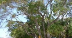 Bu ağaca dokunan sakat kalıyor!