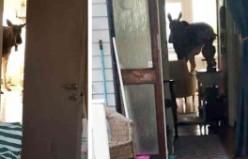 İsveç'te sarhoş geyik ev bastı