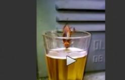 Siz hiç ayyaş böcek gördünüz mü? VİDEO
