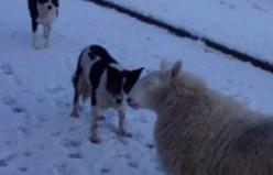 Koyunun köpeklerle oyunu tıklanma rekoru kırdı