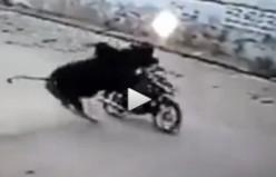 Boğa'dan motosikletliye tek boynuz...VİDEO