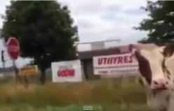 İsveç'te inekler bile trafik işaretine uyuyor...video
