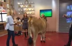 Canlı yayına çıkaracak adam bulamayan İsveç TV'si inek çıkardı...VİDEO