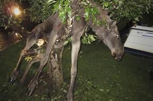 İsveç geyikleri neden meşhurdur?