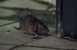 İsveç'teki fare davası sonuçlandı: Kiracı...