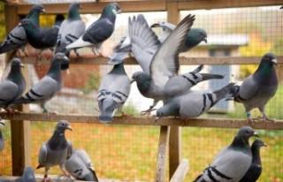 İsveç'te virüs nedeniyle çok sayıda güvercin...