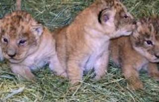 """İsveç, 9 aslan yavrusu """"masraflı"""" oldukları..."""