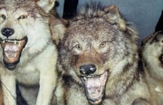 Kurtların av köpeğine saldırı anı kamerada