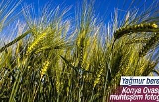 Yağmurun bereketi Konya'da buğday beklentisini...