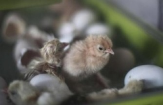 2 ülkede H5N6 virüsü alarmı - Tavuk çiftliğinde saptandı