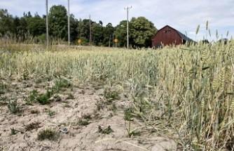 İsveç'te kuraklık çiftçi ve besicileri vurdu
