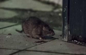 İsveç'teki fare davası sonuçlandı: Kiracı 48 kron tazminat kazandı