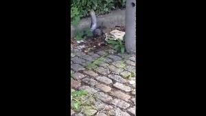 Sıçan Güvercini böyle avladı